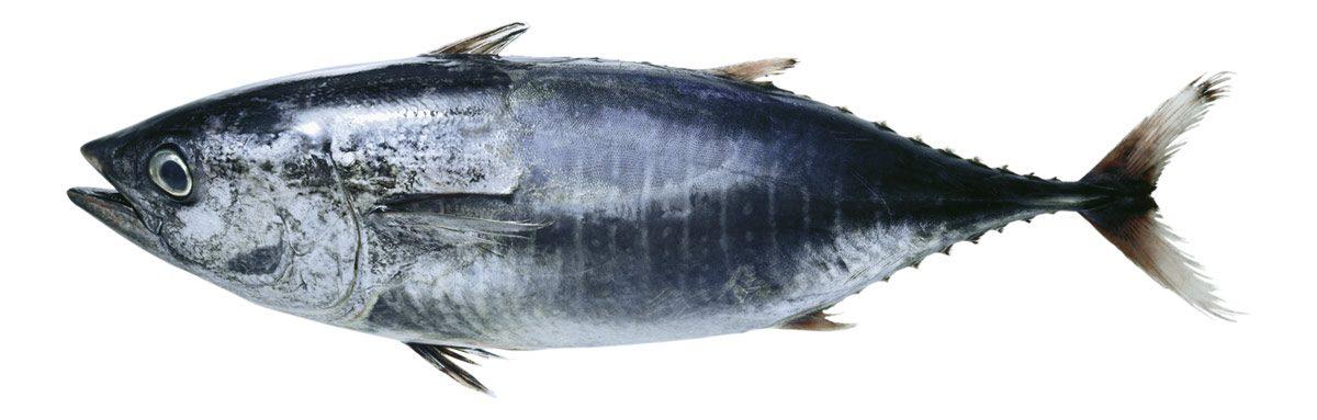 Roter Thunfisch