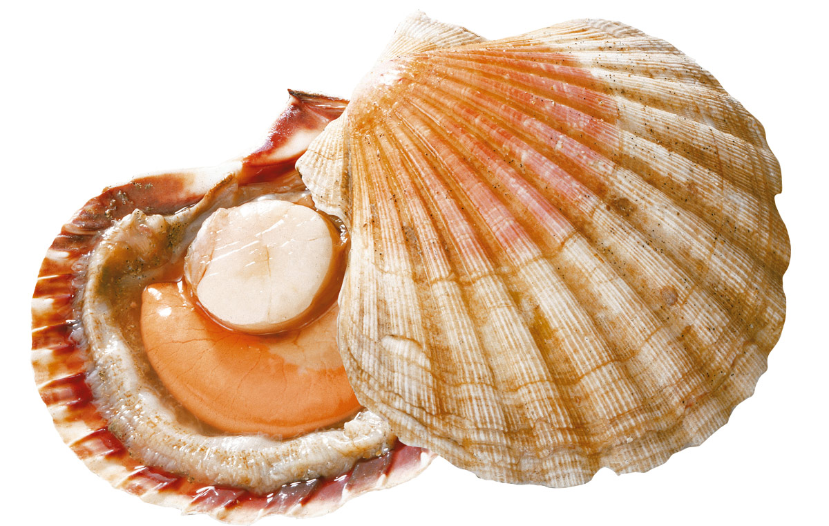 Coquille St. Jacques, Jakobsmuschel