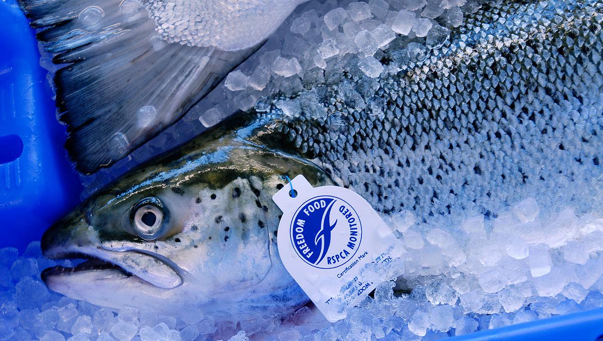 Fisch-Wissen Frischlachs