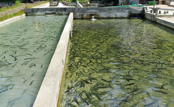 Süsswasser Fischzucht