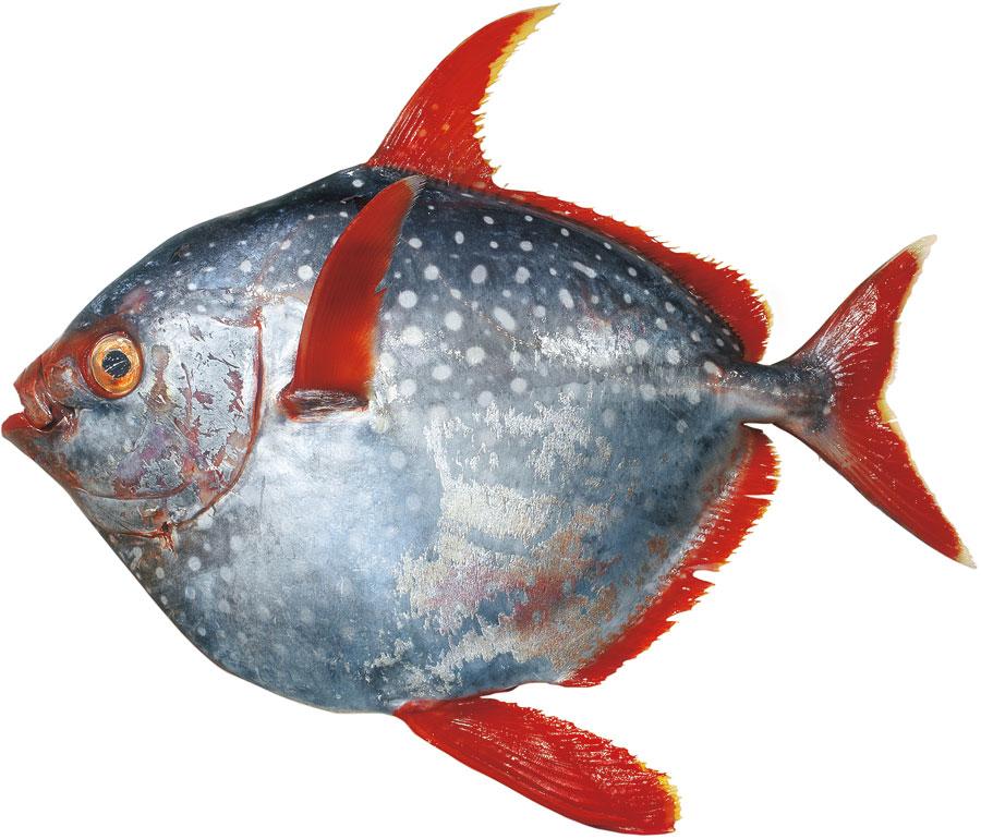 Opah, Mondfisch
